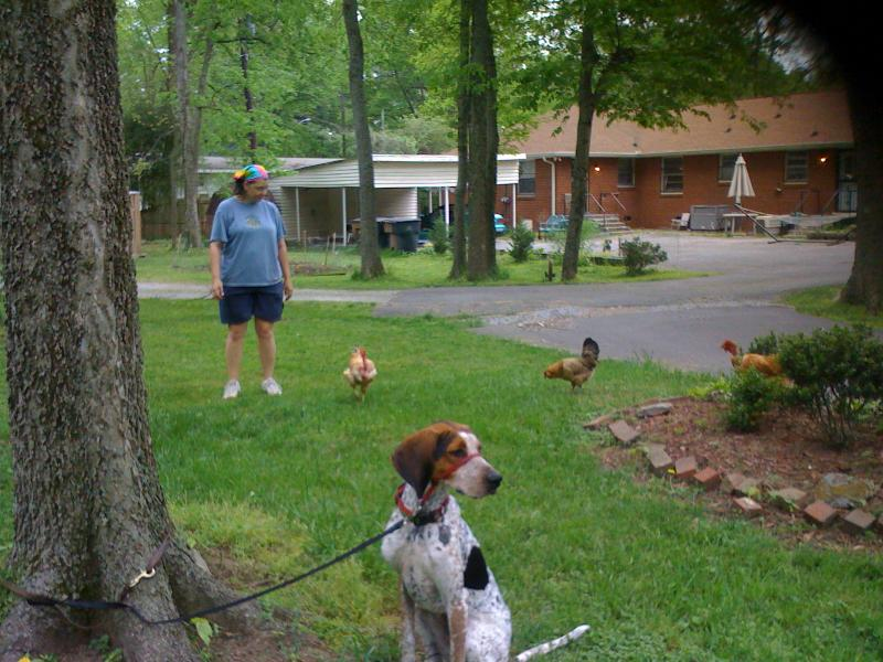 A critical life skill:  ignoring chickens (squirrels, bunnies, kitty cats, etc.)